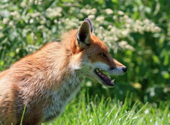 fox control in sussex