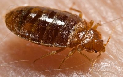 bed bug pest removal