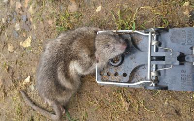 rat caught in trap